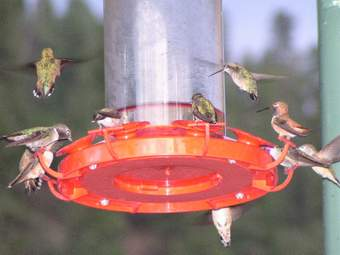 Lots of hummingbirds at feeder