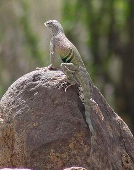 Southwestern Earless Lizard, male