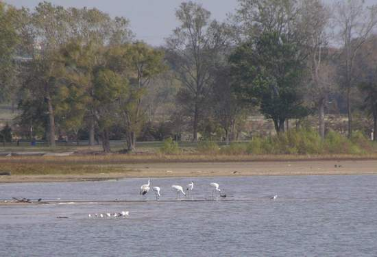 Five adult Whooping Cranes on Lake Weatherford