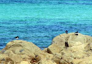 Eurasian Oystercatchers on rocks