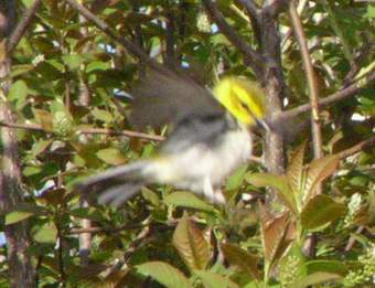 Black-throated Green Warbler catching flies.