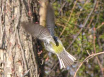 The green rump of a Black-throated Green Warbler
