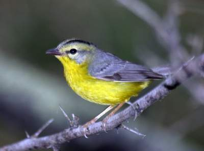 Golden-crowned Warbler, Ringgold road, UTB Campus Complex, Brownsville