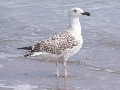 First year Great Black-backed Gull. Boca Chica 1/30/05