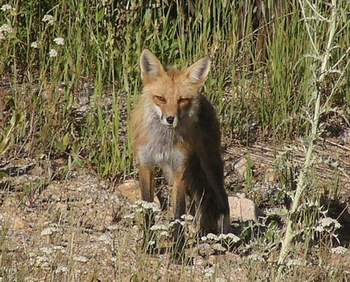 Red Fox front view