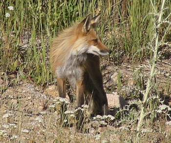 Red Fox, side view