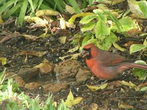 Northern Cardinal in original puddle
