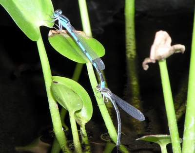 Familiar Bluet male and female.