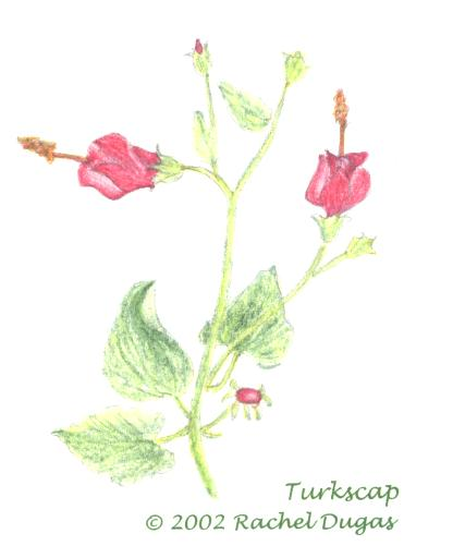 Drawing of Turkscap flower