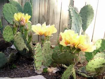 Prickly-Pear Cactus in flower