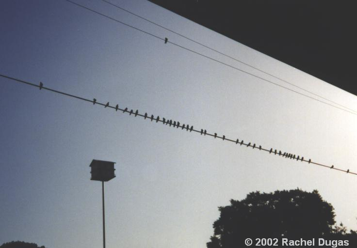 Martins lined up on wires